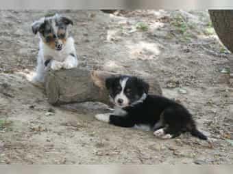Miniatur (Toy) Australian Shepherd